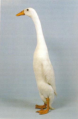 фото бегунки утки